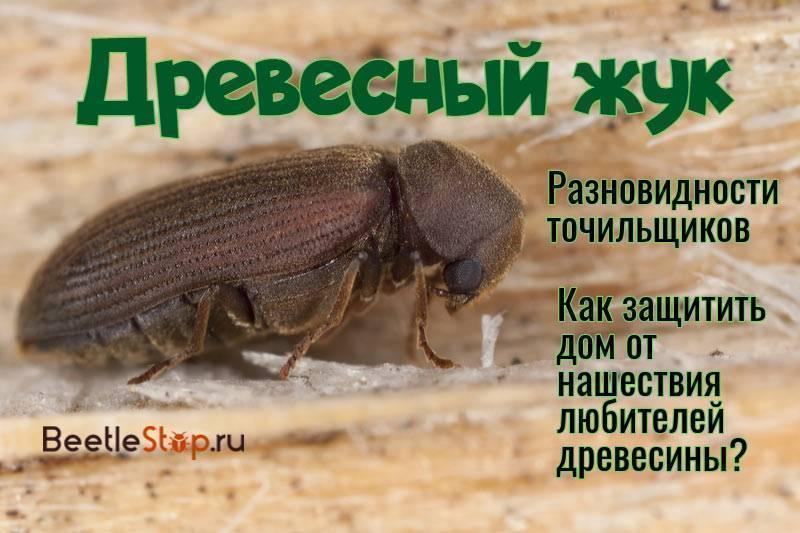 Большой дубовый усач фото и описание
