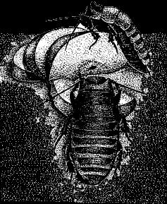 Морской таракан: среда обитания, строение, интересные факты