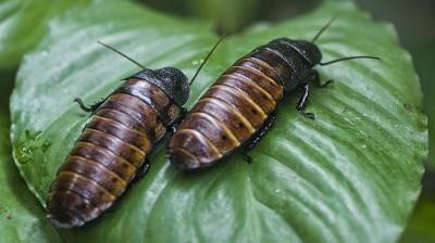 Черный таракан чем опасен и как от него избавиться