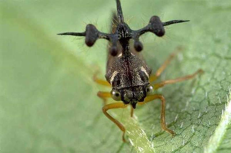 Горбатка – насекомое с замысловатой внешностью
