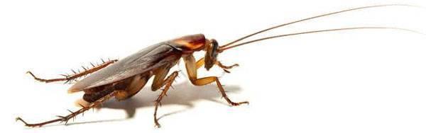 Размножение тараканов в квартире. почему их становится больше после обработки?