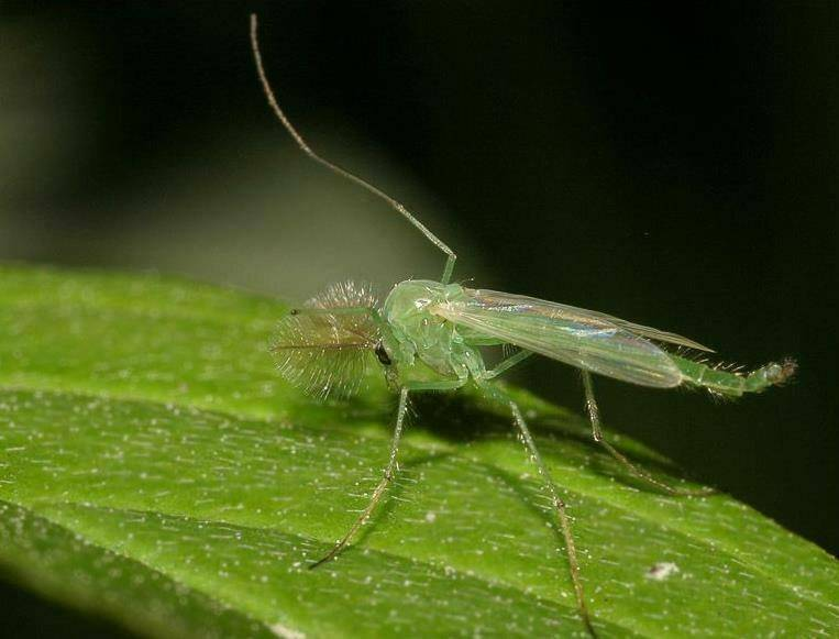 Узнаем, сколько живет комар