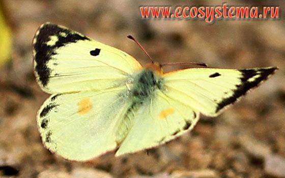 Бабочка желтушка луговая – любительница клевера и люцерны