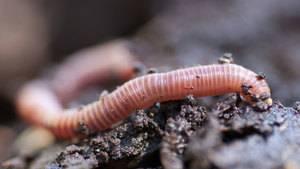 Дождевой червь: описание образа жизни и особенностей, польза для почвы и роль в природе