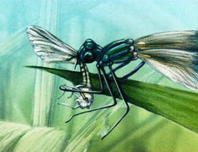 Размеры тела стрекозы. стрекоза обыкновенная – как живет насекомое? значение для человека
