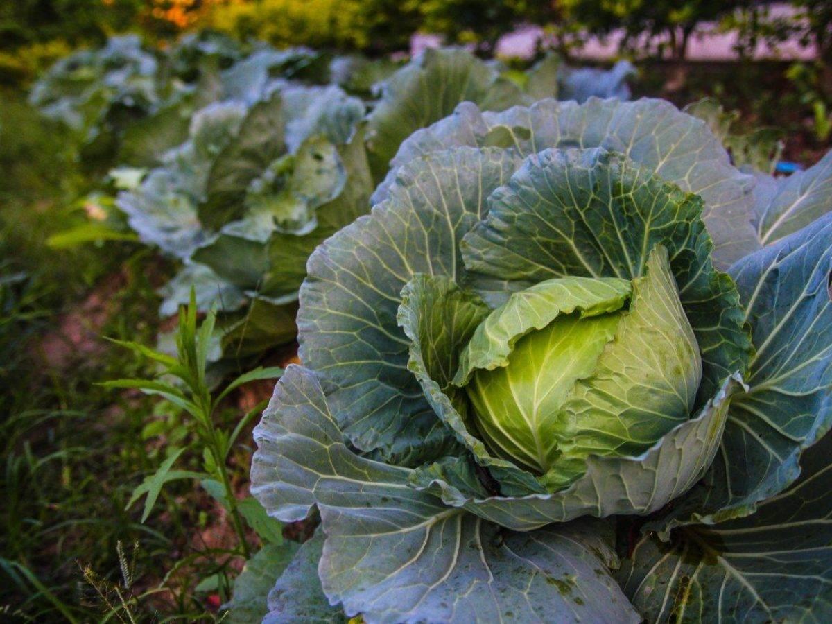 Как бороться с тлей на капусте: химические средства и народные методы борьбы
