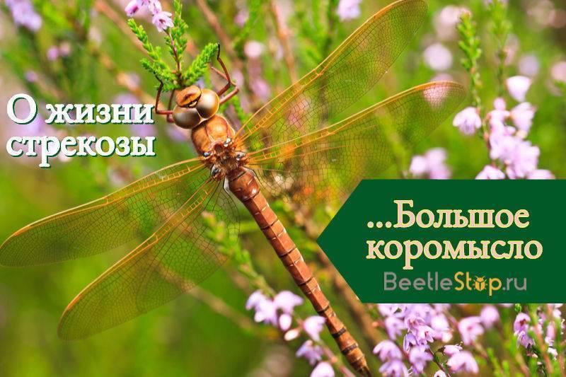 Стрекоза большое коромысло – летающая хищница