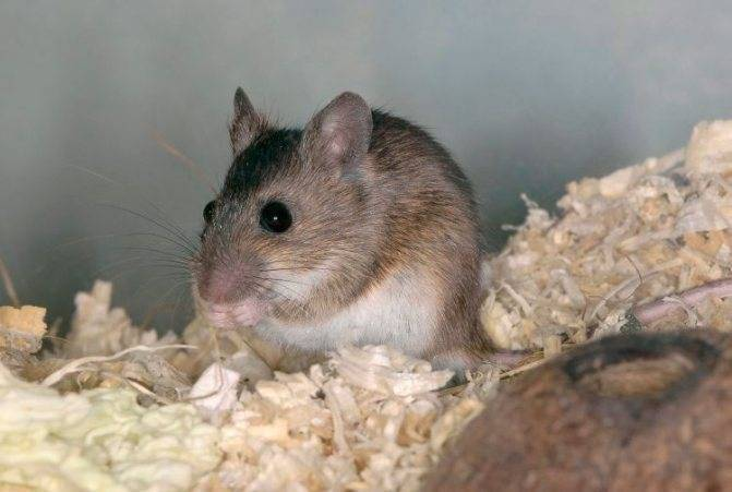 Виды и разновидности мышей