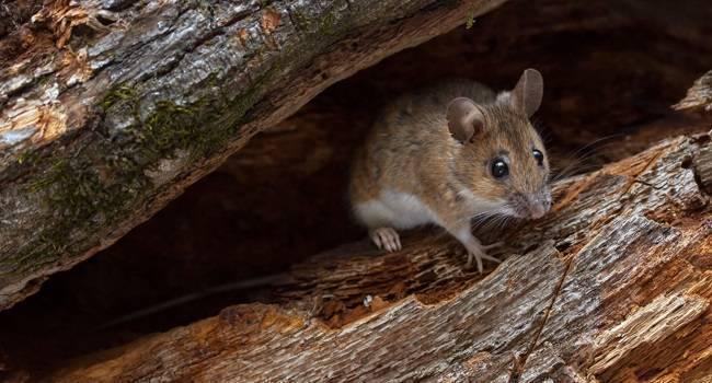 Лесная мышь: фото, чем питается в лесу, описание и особенности