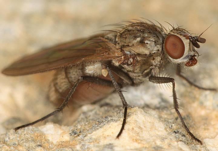 Эффективные способы борьбы с луковой мухой