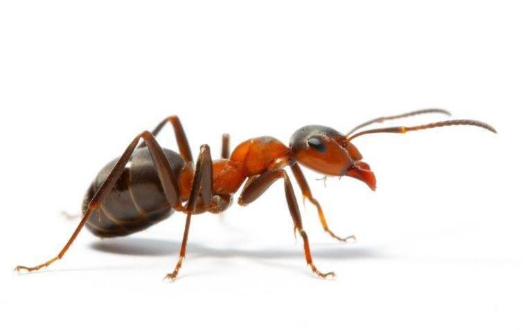 «кока-кола» против муравьев