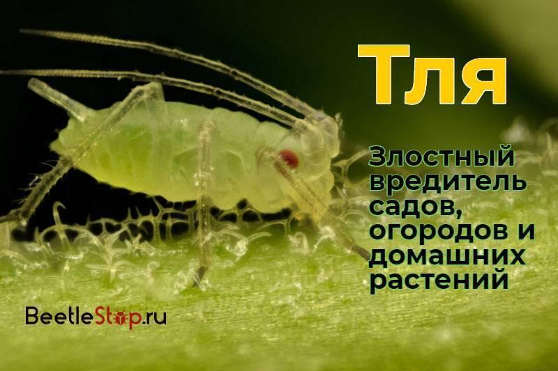 Тля и муравьи. садовые вредители