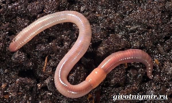 Дождевой червь: образ жизни, среда обитания и польза для почвы