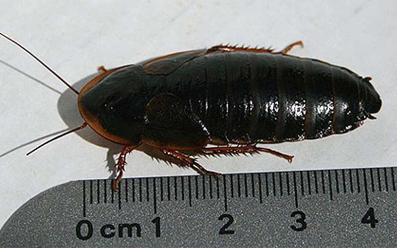 Как выглядят и откуда берутся черные тараканы