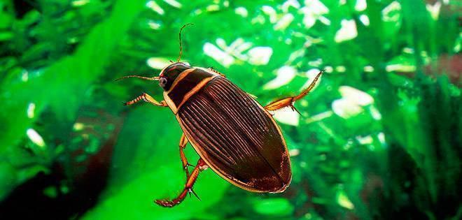 Вертячка поплавок— чемпион по плаванию среди жуков