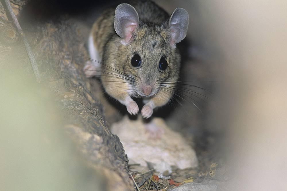 Как избавиться от мышей в автомобиле