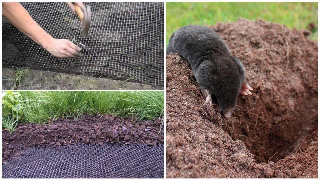 Как навсегда избавиться от кротов на огороде и дачном участке: описание методов