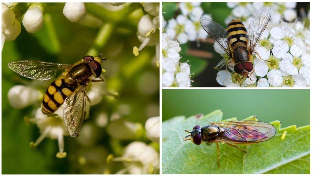 Муха похожая пчелу как называется. полосатая муха, похожая на осу. как избавиться от журчалок