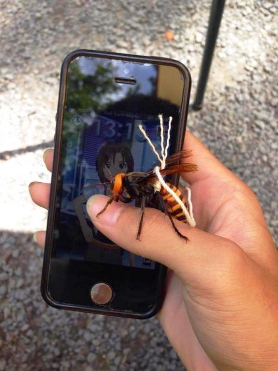 Особенности азиатского гигантского шершня vespa mandarinia