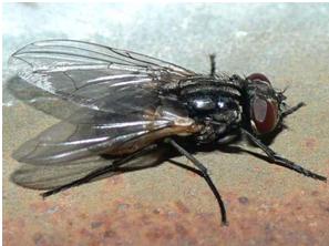 Малинная стеблевая муха: чем опасен этот вредитель и как с ним бороться