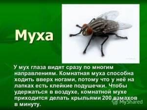 Ученые разобрались, почему муха не падает с потолка. как муха садится и держится на потолок почему муха не падает с потолка