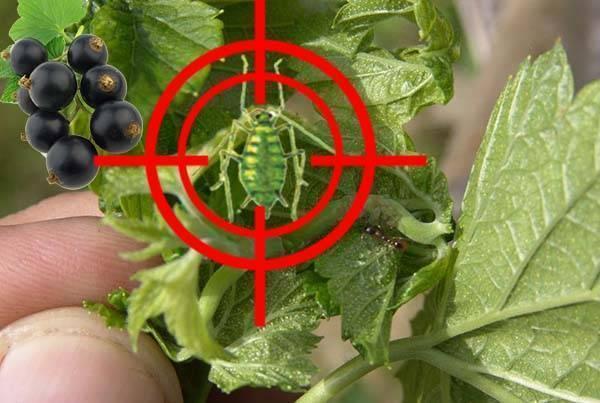 Как эффективно бороться с тлей на смородине? лучшие средства против насекомых и профилактические меры