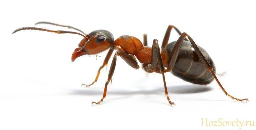 Как избавиться от муравьев в квартире навсегда