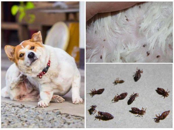 Кожные паразиты у собак