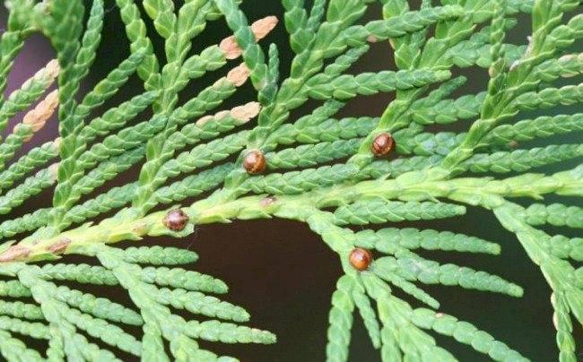 Ложнощитовка туи. как избавиться от паутинного клеща на растениях щитовка на туе