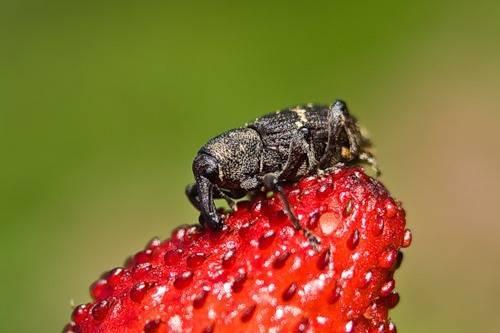 Как вывести малинного долгоносика? лучшие меры, по наблюдениям опытных садоводов