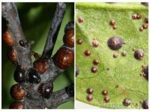 Ложнощитовка: химические и народные средства против насекомого