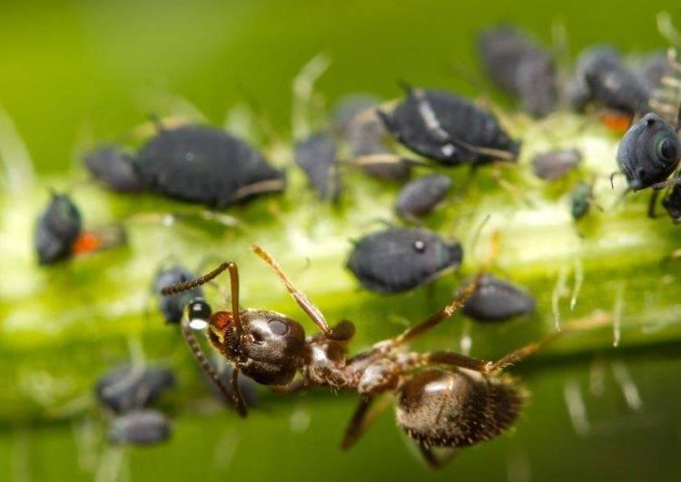 Черные муравьи на яблоне: как бороться с их нашествием