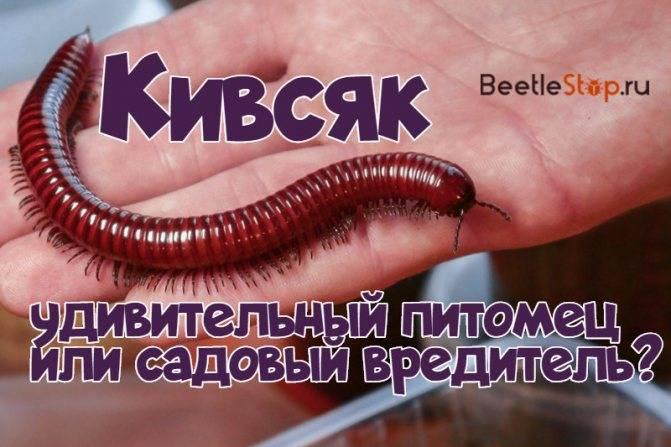Сколопендра крымская в доме: опасна ли она и как избавиться от нее
