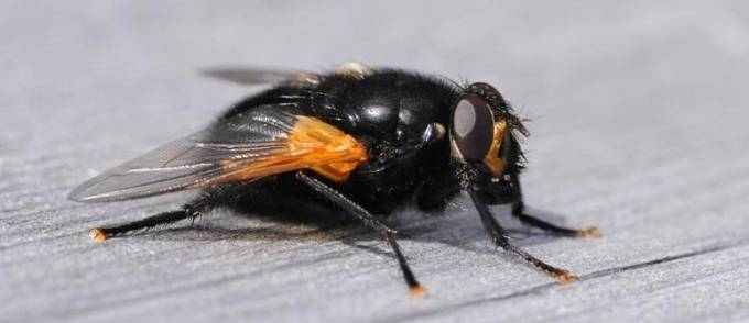 Откуда появляются мухи в закрытом помещении