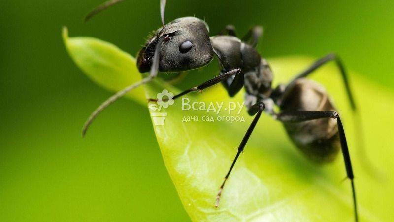 Как избавиться от муравьёв на деревьях и кустах