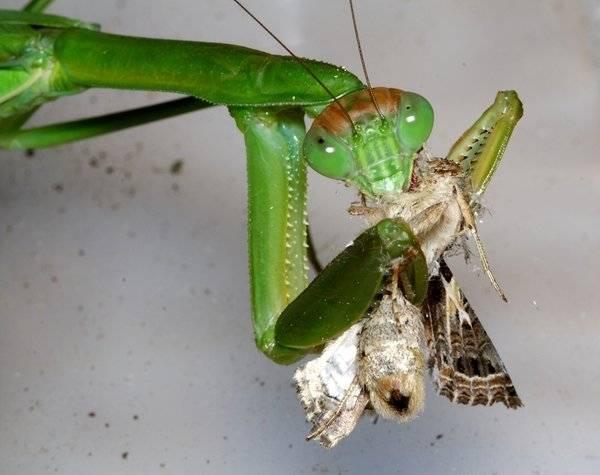 Что ест богомол в естественной среде? богомол обыкновенный – живая ловушка для насекомых обыкновенный богомол типичное травоядное насекомое.