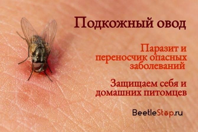 Личинки овода под кожей