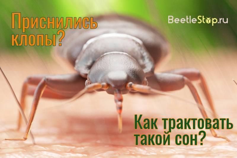 Снились жуки к чему? к чему снятся большие жуки? к чему снятся колорадские жуки?