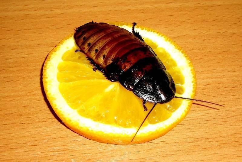 Описание мадагаскарских шипящих тараканов и их содержание