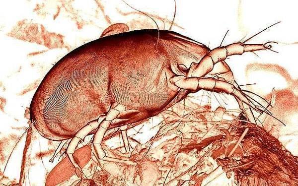 Пылевые постельные клещи — как выглядят и как от них избавиться?