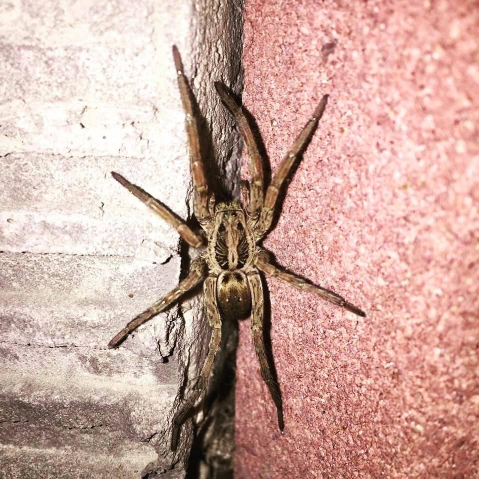 Необыкновенный паук тарантул и многообразие его видов