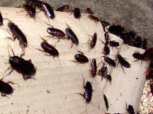 Откуда в квартире берутся тараканы