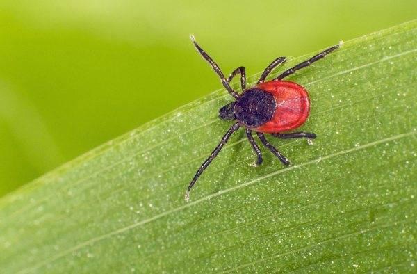 Опасна ли для человека лосиная вошь. лосиные клещи: что это такое, и опасен ли паразит для человека? обычный клещ и лосиный различия
