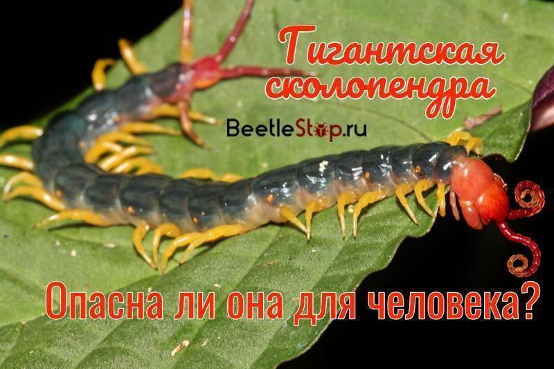 Гигантская сколопендра – внешний вид, образ жизни, размножение и опасность для человека