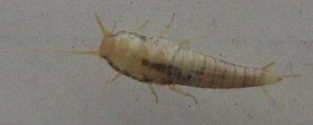 Белый таракан-альбинос в квартире – причины появления и как избавиться