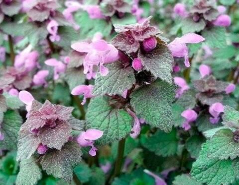 Растения, отпугивающие комаров. какие растения отпугивают комаров: травы, деревья и цветы цветы репелленты для сада от комаров