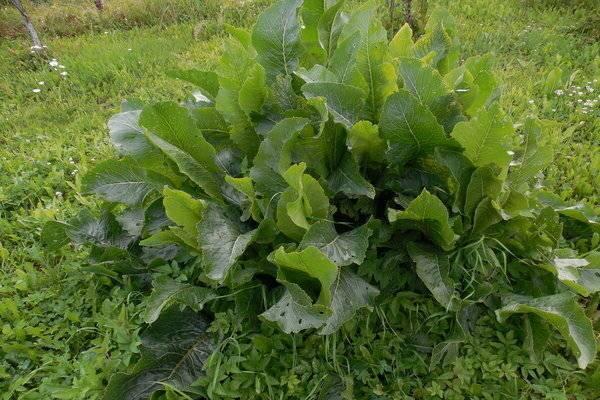 5 самых опасных капустных вредителей
