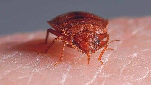 Насекомые (жуки), похожие на клещей – опасны или нет, как от них избавиться