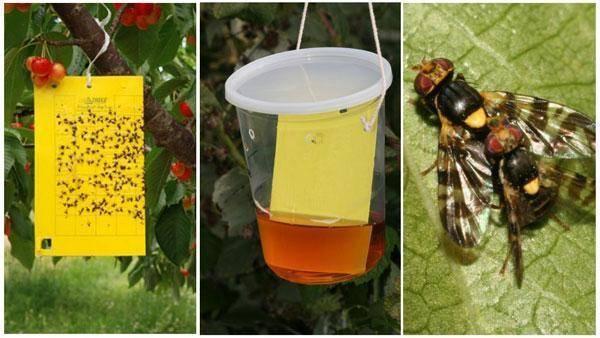 Как спасти сад от вишнёвой мухи: практические советы
