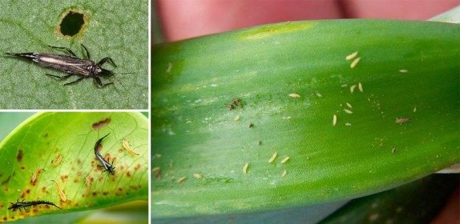 Западный цветочный трипс– мелкая напасть, но урожай может пропасть